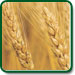Soft White wheat