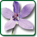 Codonopsis plant