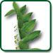 Solomon's Seal Plant