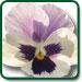 Violet Heartsease